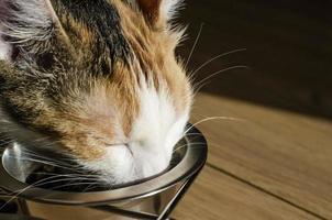 gato tricolor faminto come comida seca foto