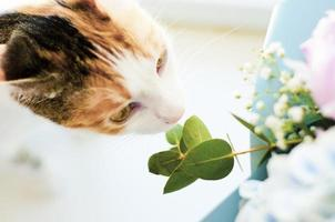 gato doméstico tricolor cheirando flores foto