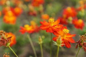 linda flor cosmos foto