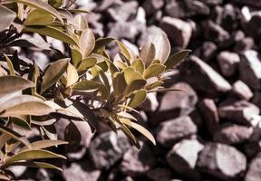 pequeno arbusto de figueira-da-índia e o fundo de pedra foto