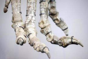 fóssil de esqueleto de dinossauro pré-histórico antigo foto
