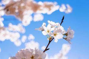 lindas flores de cerejeira foto