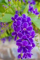 flores roxas duranta erecta na natureza foto