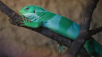 iguana anilhada de fiji foto