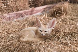raposa fennec ou raposa do deserto foto