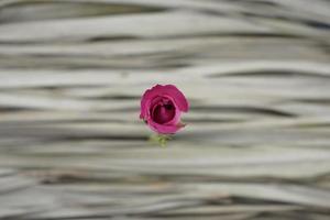 rosa rosa contra folhas de palmeira cinza secas. mínimo, orgânico. foto