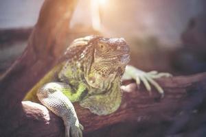 lagarto gigante segurando o galho morto na floresta. foto