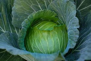 close up de repolho verde fresco amadurecendo cabeças crescendo no campo foto
