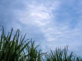 folha de cana-de-açúcar na fazenda e no céu azul foto