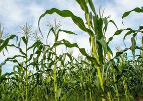 Milho em fazenda de milho no interior foto