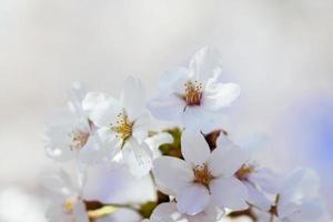 flores de cerejeira na bacia das marés. foto