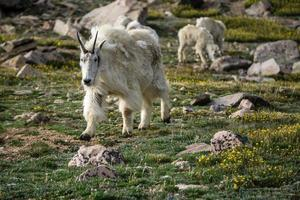 cabra montesa nas montanhas do colorado foto