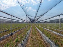 Canteiros de mudas de mirtilo em um jardim intensivo sob uma rede de proteção foto