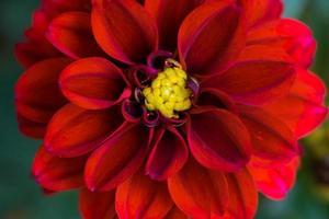 closeup flor vermelha fundo de natureza foto