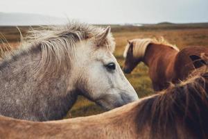cavalo islandês no campo da paisagem natural da Islândia foto