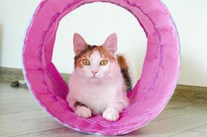 gato tricolor joga no túnel. jogos em casa com um animal de estimação. foto