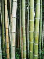 floresta de bambu. arvores foto