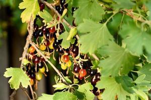 lindas frutas maduras de groselha preta em um galho de arbusto foto