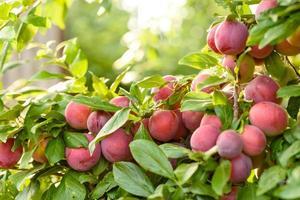 lindas frutas maduras de ameixa vermelha em um galho de árvore foto