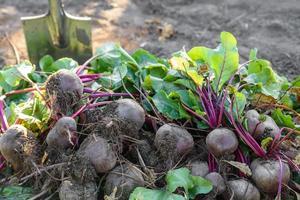 beterraba recém-colhida no solo do jardim no canteiro foto