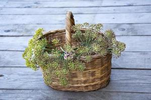 cesta de vime com raminhos de endro foto