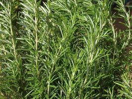 planta alecrim rosmarinus foto