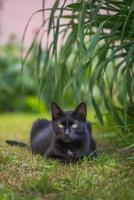 um gato preto selvagem está deitado na grama. foto