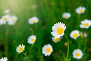 feche a flor da margarida no prado verde foto