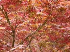 árvore acer de bordo vermelho foto
