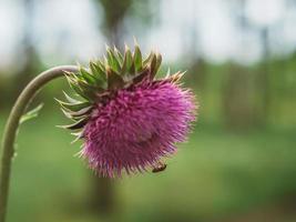 close-up de uma flor de cardo. flor de cardo rosa espinhosa sem ameixa foto