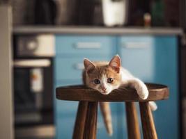 jovem gatinho com lindos olhos azuis com cor vermelha branca foto