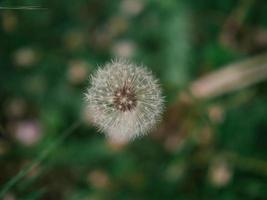 flor dente de leão branco na grama verde com flores amarelas selvagens foto