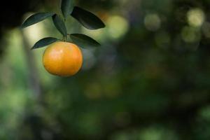 monte de laranjas maduras pendurado em uma laranjeira foto