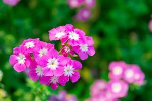 feche flores de gerânio rosa no jardim foto