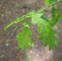 uma folha de carvalho foto