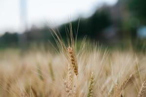 campo de fazenda de trigo foto