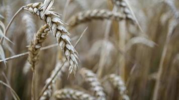 close-up de hastes de trigo dourado, espiga de grão. foto