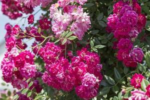 roseira no jardim foto