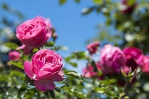 close-up de um arbusto de rosas no jardim foto