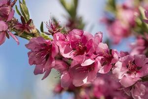 close-up de flores desabrochando de pêssegos-de-rosa. foto