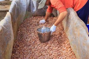o processo de fermentação de grãos de cacau frescos para fazer chocolate foto