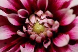 flor flor macro dália pinnata family compositae alta qualidade foto