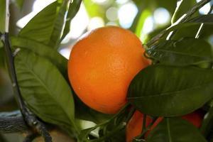 laranja no pomar. laranja madura em uma árvore. foto
