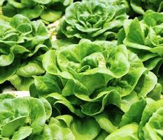 jardim de salada com cabeça de manteiga foto