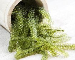 uvas do mar em tanque de madeira foto