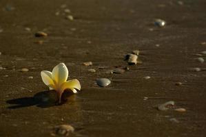 flores de frangipani caem na praia de areia com pedras e conchas foto
