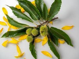 castanha em casca com agulhas e folhas verdes foto