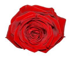 flor rosa vermelha isolada sobre o branco foto