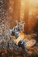 retrato de detalhe de tigre siberiano panthera tigris altaica foto