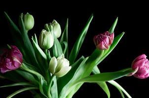 closeup lindo fundo escuro de flores tulipa rosa e branca foto